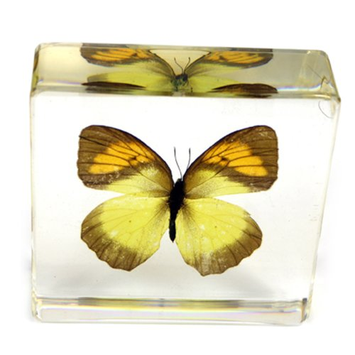 Realbug Yellow Orange Tip Butterfly Paperweight(3X3X1)