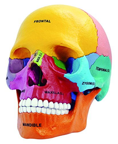 Didactic Exploded Skull Anatomy Model - Build Your Own!