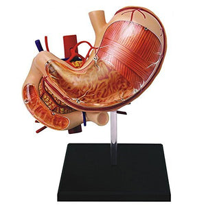 4D Vision Human Anatomy - Stomach Anatomy Model