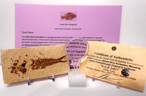 Genuine Fossil Fish (Knightia) From Green River Formation, Wyoming Usa With Free Magnifying Glass, Acrylic Display Stand, Fact Sheet & Coa Bundle.