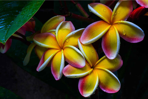 Plumeria Extract is anti-aging skin replenishing wrinkle removing keratin enhancing best zinc sunscreen