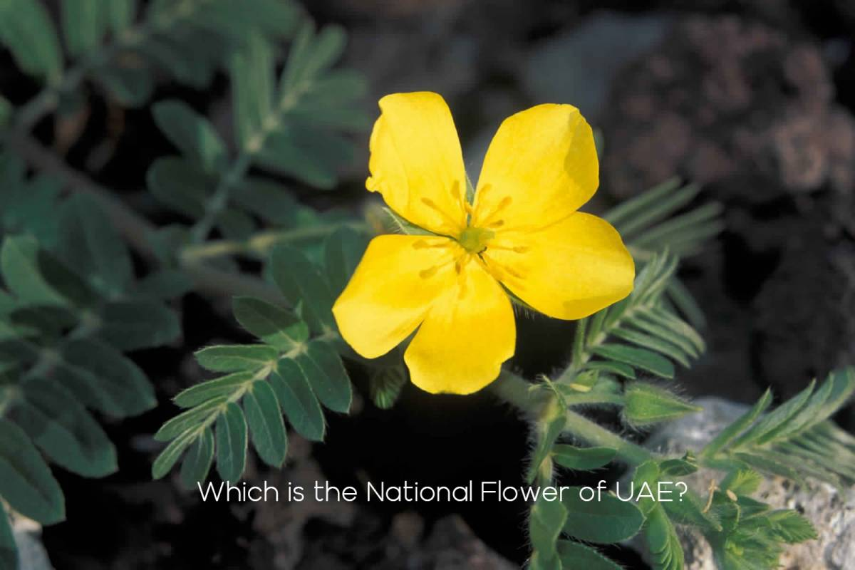 Which is the National Flower of UAE?