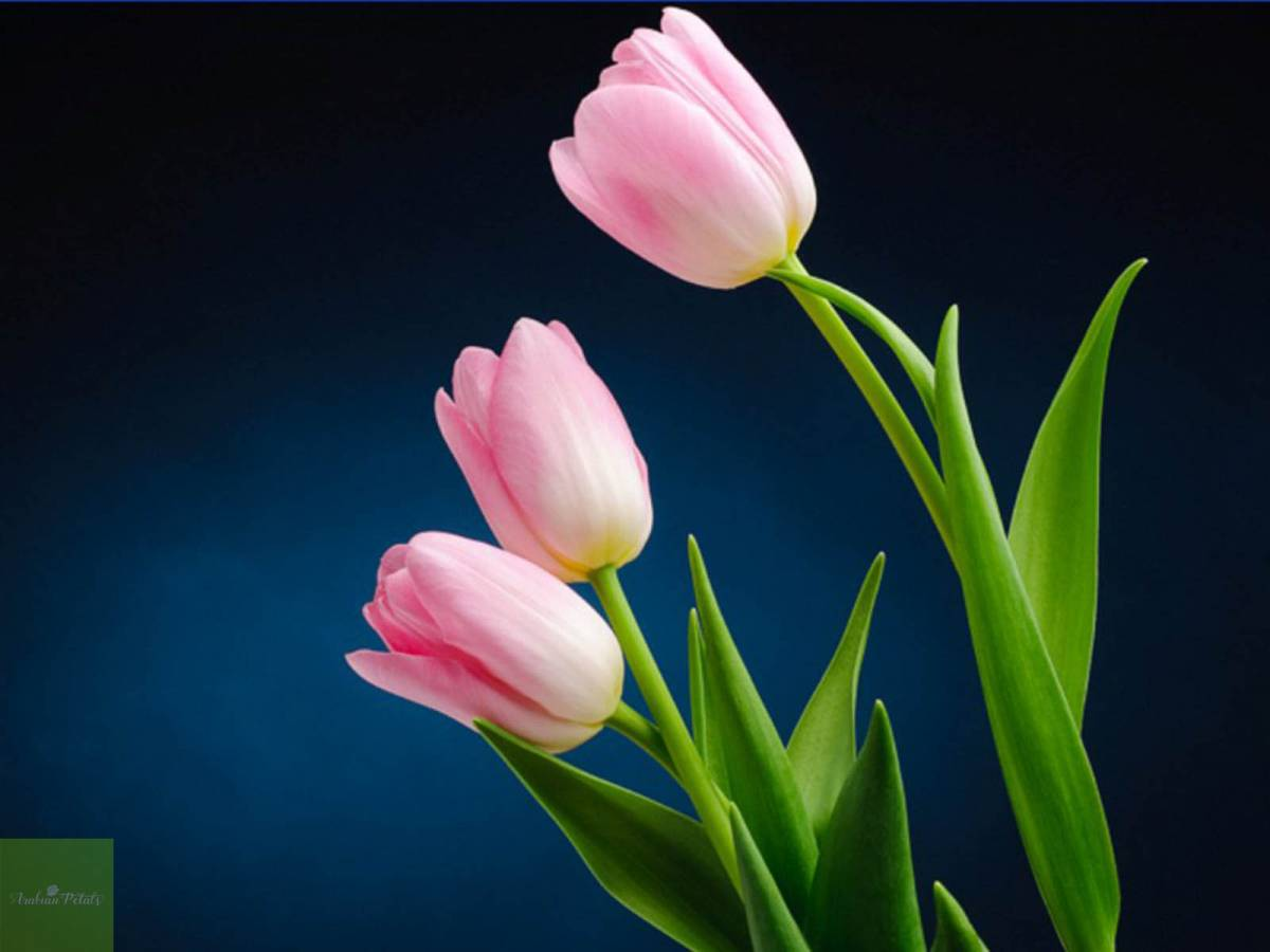 History, Meaning, And Significance Of Tulip Flower