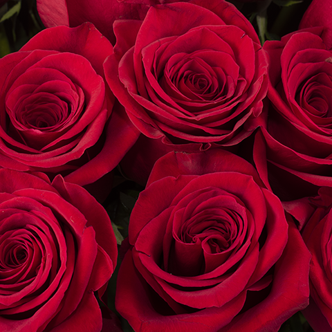 Infinite Passion Red Roses with 70 cm Length