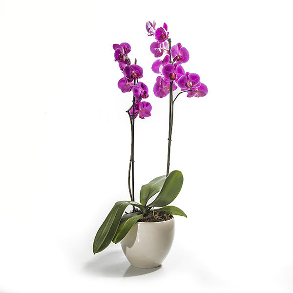 Perfect Choice - Phalaenopsis Plant Double Stemmed - Arabian Petals