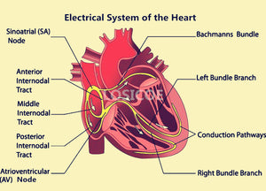Electrical System of the Heart Medicine Human Anatomy Vintage Posters Kraft Paper  Wall Sticker Hospital Classrooms Decoration