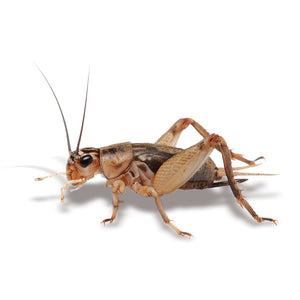Crickets Small Live