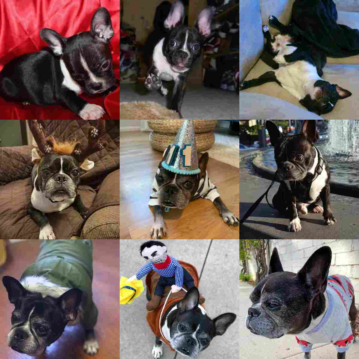 Dilla, French Bulldog and Boston Terrier Mix, from a puppy to a senior dog.