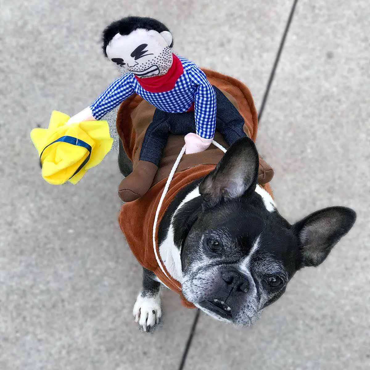 French Bulldog Dog and Boston Terrier mix named Dilla, wearing his favorite doggy costume: Ride 'Em Cowboy Dog Costume from online dog clothing store they made me wear it.