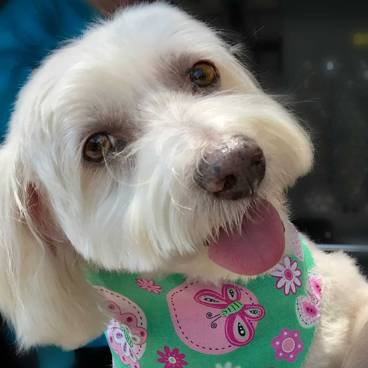 Bichon Frise, Maltese and Havanese Mix, named Willow with pretty brown eyes, wearing a green butterfly bandana.