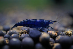 Sapphire/ Blue Diamond Shrimp (Pack of 5)