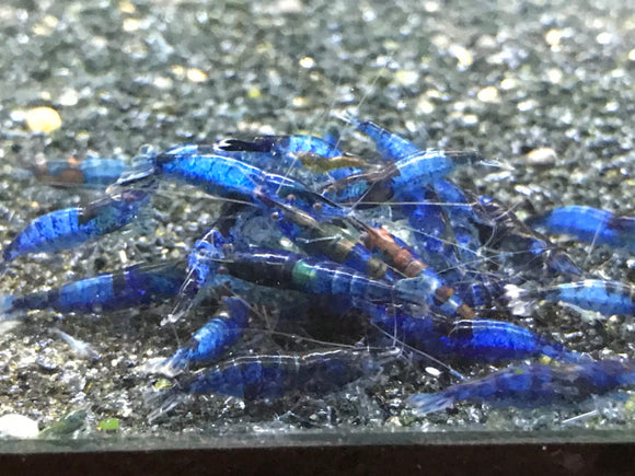 Blue Rili Shrimp (Pack of 5)
