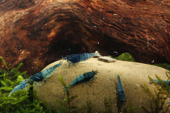 Blue Steel Shrimp (Pack of 5)