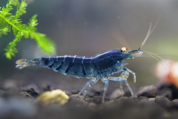 Orange Eye - Blue Tiger Shrimp (Pack of 5)