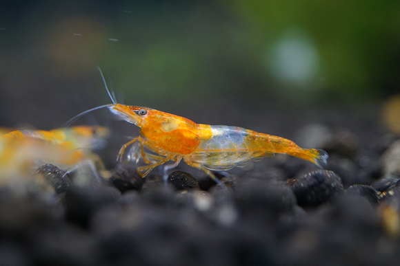 Orange Rili Shrimp (Pack of 5)