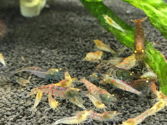 Orange Eye - Red Tiger (Taiwanese) Shrimp (Pack of 5)