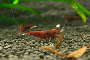 [neo-caridinas] - Blue Crown Aquatics Trade