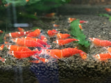 Super Red - One Stripe Shrimp (Pack of 5)