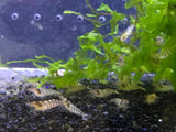 Babaulti Zebra Shrimp (Pack of 5)