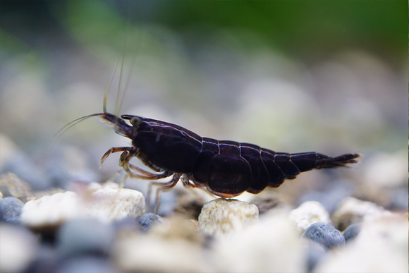 Black Rose Shrimp (Pack of 5)