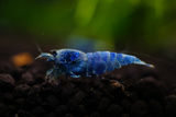 Blue Bolt Shrimp Grade SSS (Pack of 5)