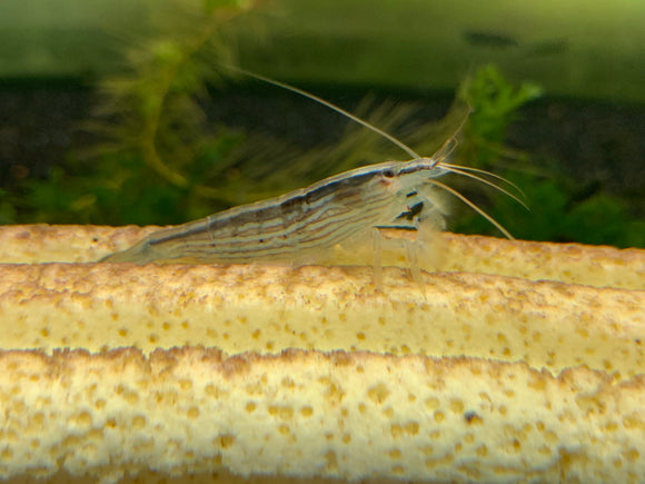Bamboo Shrimp (Pack of 5)