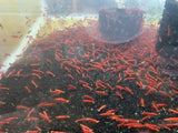 Painted Fire Red Shrimp (Pack of 5)