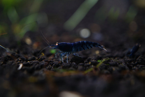 Orange Eye - Royal Blue Tiger Shrimp (Pack of 5)