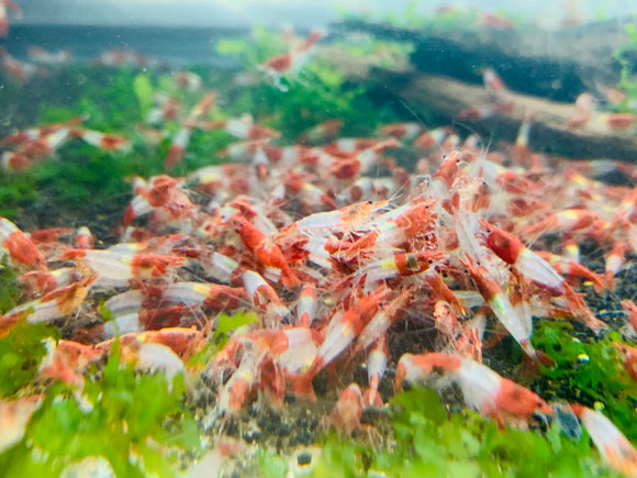 Red Rili Shrimp (Pack of 5)