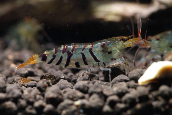 Super Tiger (Thick Band) Shrimp (Pack of 5)