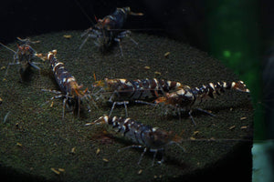 Super Tiger (White Band) Shrimp (Pack of 10)