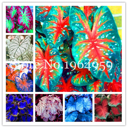 200 Pcs New Rainbow Caladium Bonsai