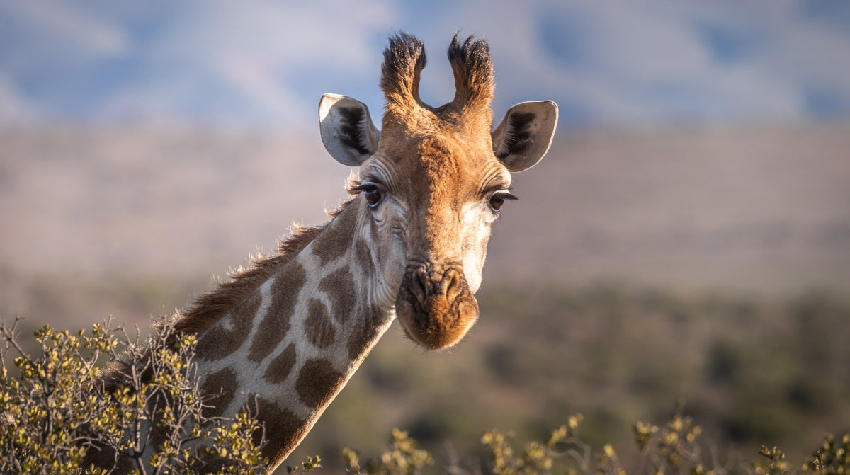 Long lashes on a giraffe