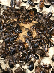 Feeding Dubia roaches at Jersey Worms