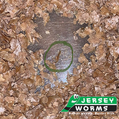 Small superworms for sale | Baby superworms