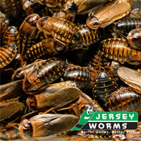 How to breed dubia roaches