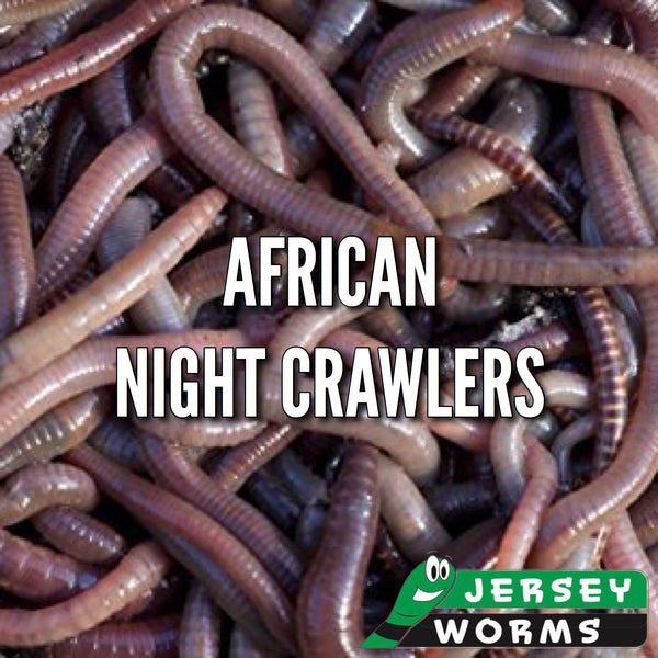African Night Crawlers