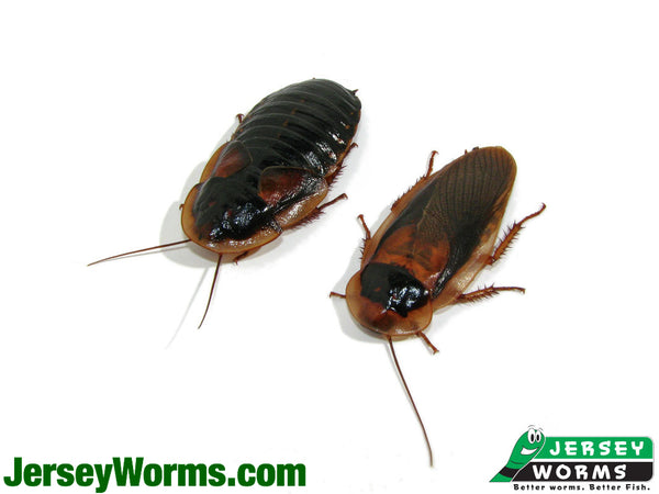Adult Dubia Roaches for Sale - Jersey Worms