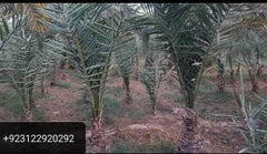 PAKISTAN MART | Grocery Delivery Nawaz & sons Dhakki Dates Nursery Plants