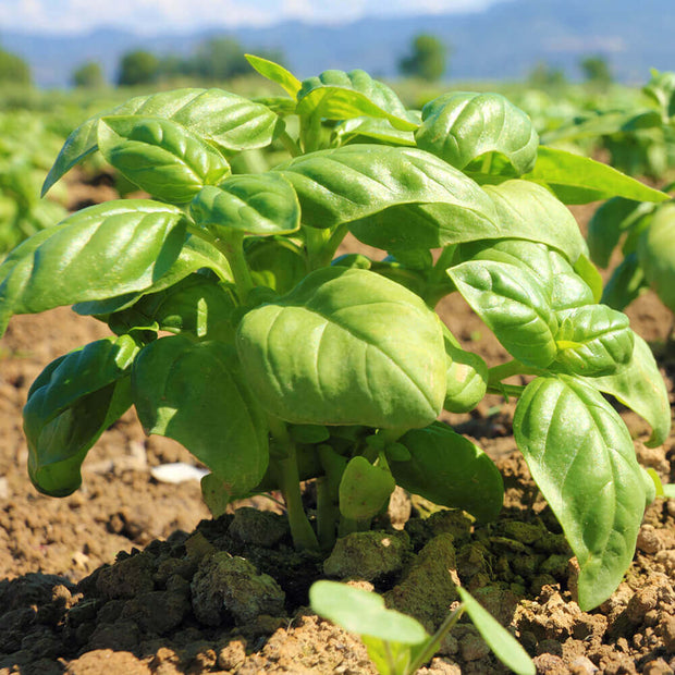 High Quality Organics Express Basil Leaf Plant