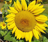 Arikara Sunflower