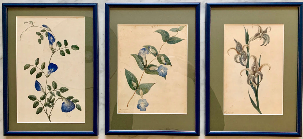 Set of three botanical watercolours on paper (artist: unknown)