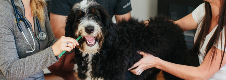 Master Teeth Brushing for Pets in 4 Weeks