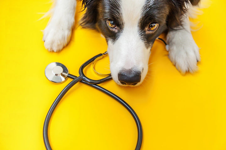 Telemedicine For Pets: How and When to Use It