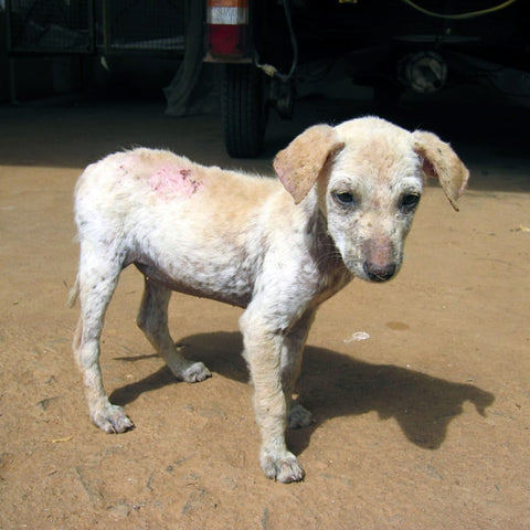 fuzzy dog skin health with demodectic mange on back and leggs