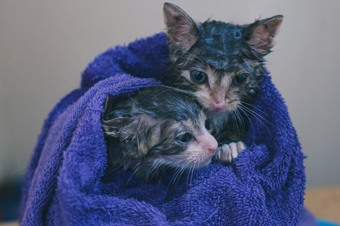 two wet kittens in a towel after a bath