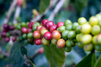 How does climate change threaten coffee?
