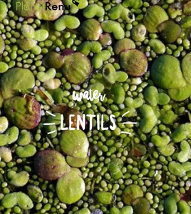 Water Lentils- An Excellent Source of Protein and Rapidly Renewable