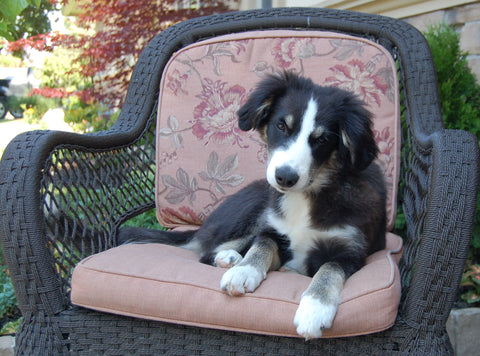 Cute Puppy Border Collie Puppy