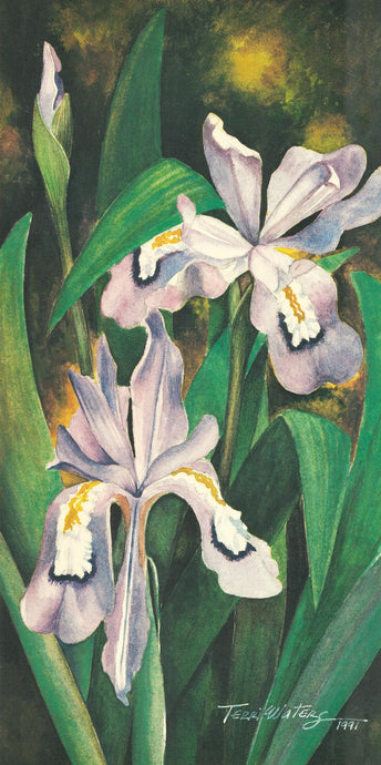 Dwarf Iris - Watercolor
